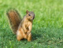 Young Fox Squirrel Royalty Free Stock Images