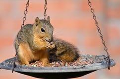 Young Fox squirrel (Sciurus niger) Stock Photos