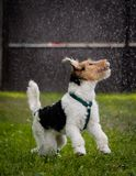 Fox Terrier playing in rain. Young Fox Terrier puppy playing in rain on green grass Stock Images
