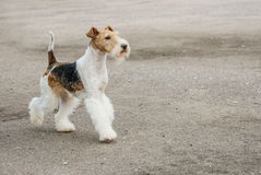 Young Fox-Terrier Stock Photo