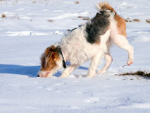 Young fox terrier sniffing. Animal tracks in the snow. Irritated areas around the nose are caused by food allergy Royalty Free Stock Image