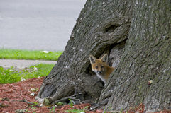 Young fox in tree trunk Stock Images