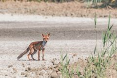 Young fox walking in the plain realizes to be observed stock images
