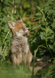 Young fox. Watching from the den Royalty Free Stock Photos