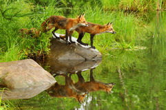 Young fox with water reflections. Pair of red fox with water reflections royalty free stock images