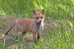 Young fox in the wild Stock Images