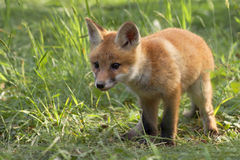 Young fox in the wild Royalty Free Stock Image