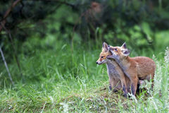 Young foxes in the clearing Stock Images