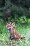 Young foxes in the clearing Stock Photography