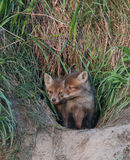 Young foxes in the hole Royalty Free Stock Photography
