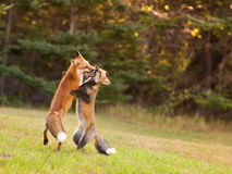 Young foxes honing their hunting skills. Two immature red foxes playing a fighting game Stock Images