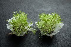 Young fragrant vegetable sprouts full of vitamins and energy on a black background stock images