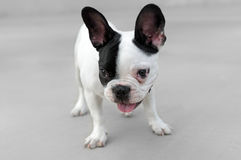 Young French Bulldog dog. With a funny look Royalty Free Stock Photo