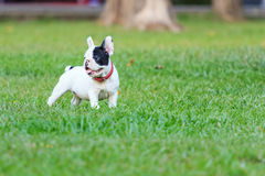 Young French Bulldog Royalty Free Stock Image