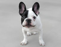Young French Bulldog dog. Looking curiously Royalty Free Stock Photos
