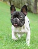 Young French Bulldog dog Stock Photo