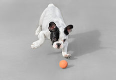 Young French Bulldog dog. Playing with a ball Royalty Free Stock Photo