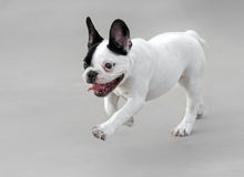 Young French Bulldog dog. Running Royalty Free Stock Images