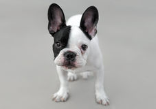 Young French Bulldog dog. With a very expressive look Royalty Free Stock Images