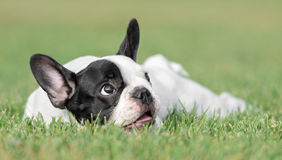 Young French Bulldog dog Stock Photos