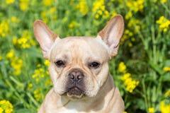 Young French Bulldog Headshot Stock Photo