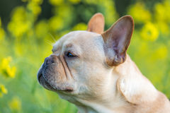 Young French Bulldog Profile View Royalty Free Stock Photos