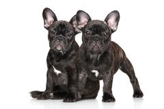Young French bulldog on white background Royalty Free Stock Images