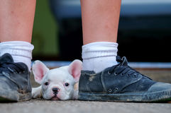 Young french bulldogs lie between shoes. stock image
