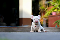 Young french bulldogs tongue sit on the cement. royalty free stock photography