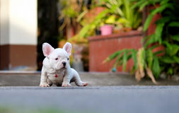 Young french bulldogs white sitting on the cement. royalty free stock photo