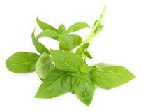 Young fresh basil Royalty Free Stock Photo