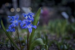 Young fresh blue flowers, soft focus, dusk, night city lighting. Dreamy romantic spring, close-up.  royalty free stock photography
