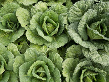 Young Fresh Cabbages Growing Stock Images