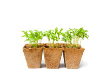Young  fresh coriander stands in peat pots on a white background Stock Photography