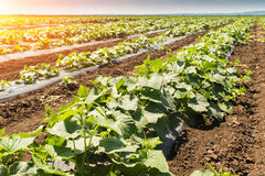 Young fresh cucumber plantation - cultivation of cucumbers in field, growing organic vegetables