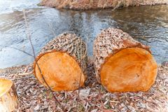Young fresh cut firewood near by the river. Young fresh firewood near by the river Stock Image