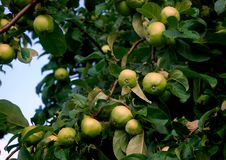 Young fresh green apples on tree Royalty Free Stock Images