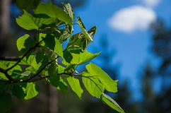 Young fresh green leaves against the sun, sky and clouds Stock Photo