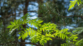 Young fresh green leaves against the sun and sky in the woods Stock Photography