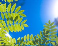 Young fresh green leaves against the sun and sky in the woods Royalty Free Stock Photos