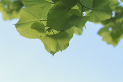 Young fresh green leaves of Linden tree against the sky Stock Photo