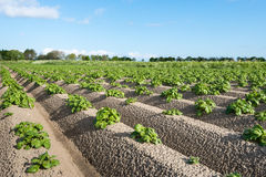 Young and fresh green potato plants close Royalty Free Stock Photography