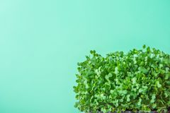 Young Fresh Green Sprouts of Potted Water Cress on Pastel Turquoise Background. Gardening Healthy Plant Based Diet Food Garnish. Concept. Minimalist Style. Top Royalty Free Stock Image
