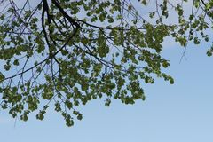 Fresh green tree leaves. Young fresh green tree leaves in sunshine against sky Royalty Free Stock Photography