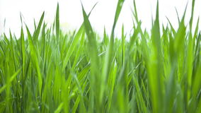 Young fresh green wheat meadow stock video