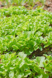 Young  fresh lettuces Royalty Free Stock Image