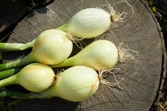 Young fresh onions on a wooden background royalty free stock images