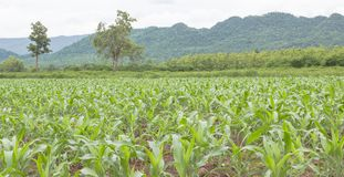 Young Corn farm. Young fresh organic corn growing in tropical farm Stock Images