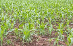 Young Corn farm. Young fresh organic corn growing in tropical farm Royalty Free Stock Images