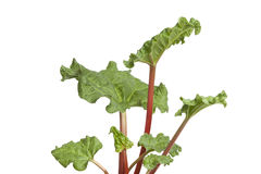 Young fresh Rhubarb Stock Photography